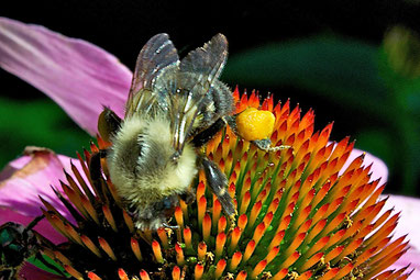 A bumblebee with a large pollen basket feeding on the flower of a purple coneflower (Echinacea purpurea).