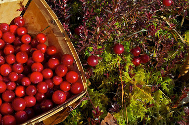 A December harvest of cranberries from the bog at Distant Hill Gardens.