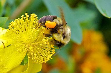 A bumblebee, with full pollen sacs, feeding on the flower of a St. John's Wort (Hypericum kalmianum ' Gemo')