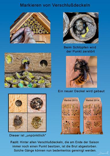 Diese Markierungsaktion war ein voller Erfolg. Über die Ästhethik läßt sich möglicherweise streiten :-) Das Mauerbienenweibchen ist dicht mit Milben übersäht, typische Futterschmarotzer bei den Mauerbienen