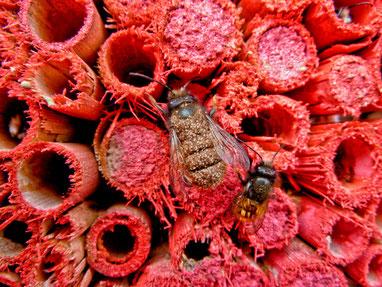 Mauerbiene Milbe Markierung