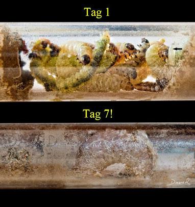 Grabwespe Brutzelle gelähmte Raupen Beobachtungsnistkasten Insektenhotel digger sphecid wasp insect hotel