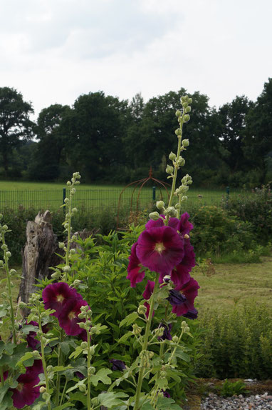 Hollyhocks - Summer at Belauer See, Photo: Ulf F. Baumann