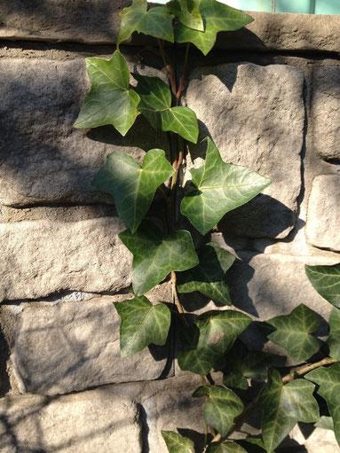 お庭や外構の植栽に『ツタ』を使うのは要注意