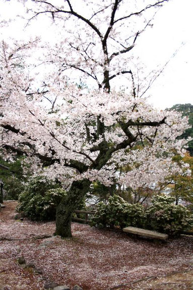 Dentelle et taffetas rose des sakura