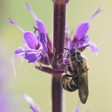 Bild: eine Wildbiene, die am Salbei Nektar trinkt