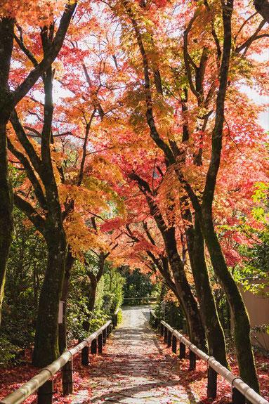 光悦寺 参道の紅葉
