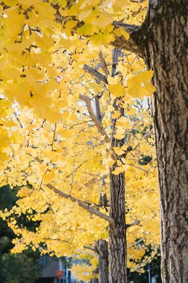 京都御苑のイチョウ並木