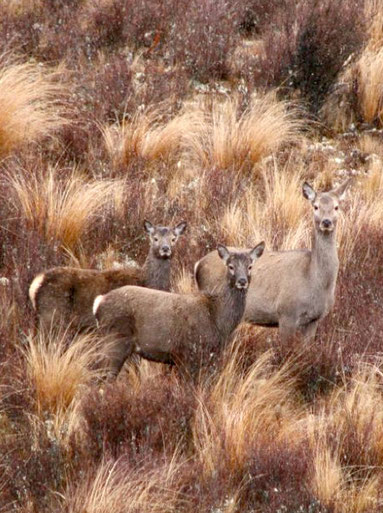 Red deer in Otago's red tussock high country (Courtesy of Red Tussock Venison)