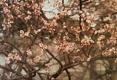 Lachsfarbene Blüten an einem Obstbaum im Frühjahr