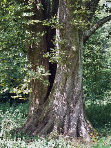Kastanie im Schlosspark Laubach in Laubach