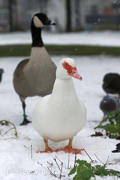 weiße Warzenente im weißen Schnee