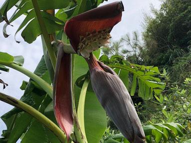 むふふ~♪ 我が家のバナナの花が咲いてるーーーー!ちゃんと実が育ちますように・・