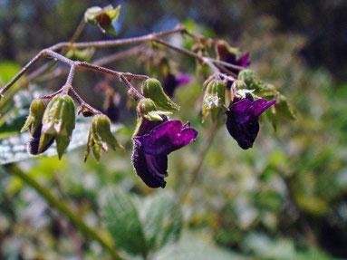 クロバナヒキオコシ (黒花引起)