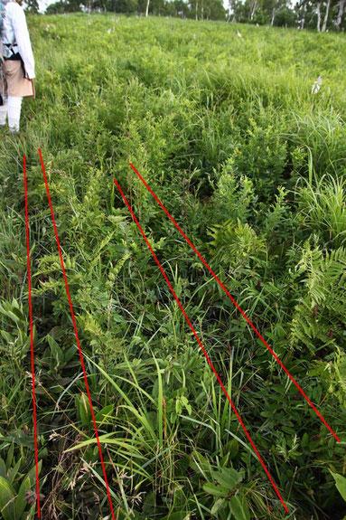 100m以上の長さで轍(わだち)が続き草がなぎ倒されていた