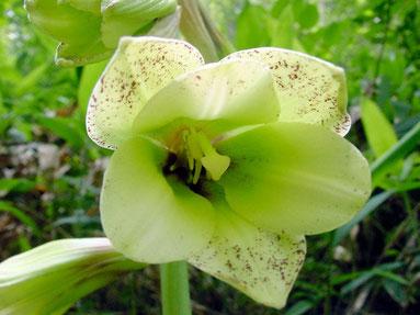 オオウバユリ  花は大きく独特の風貌です