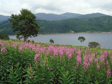 ヤナギラン (柳蘭蘭)  野反湖の湖畔を彩る代表花の一つ