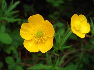 ミヤマキンポウゲ (深山金鳳花) キンポウゲ科