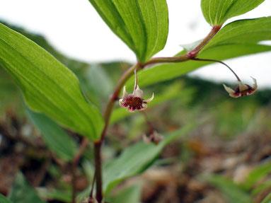 タケシマラン (竹縞蘭) ユリ科
