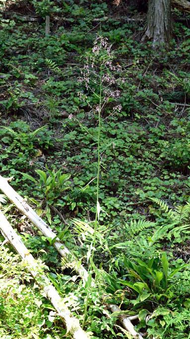 ムラサキニガナ (紫苦菜) 高さは2m以上と思われます
