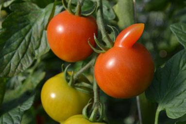 Bio-Tomaten, Bio-Bohnen und andere Gemüse von Hildes Grünzeug