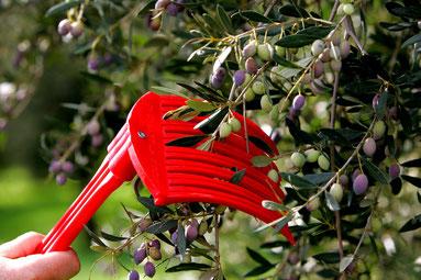 Bild: Die Handharke zum Auskämmen und schonenden Ernten der Oliven