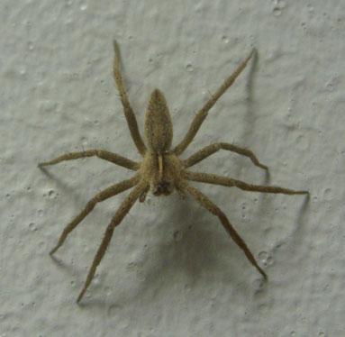 Immature nursery-web spider Pisaura mirabilis