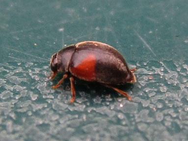 Ladybird Scymnus interruptus
