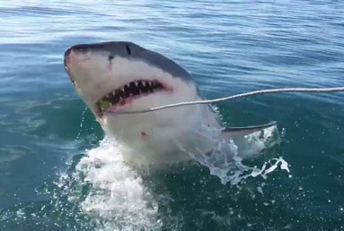 Great White Shark Private Tour