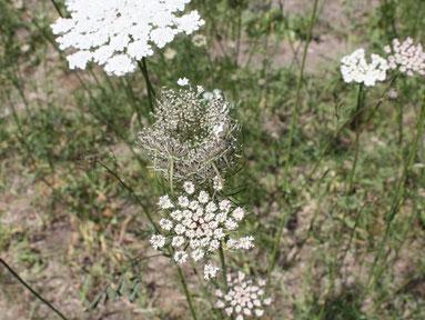 Die Wilde Möhre nach der Blüte