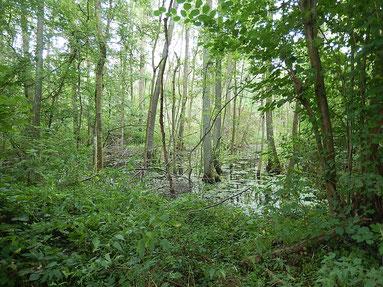 Bruchwald im Weingartner Moor, Foto: Dr. Eva Kemp