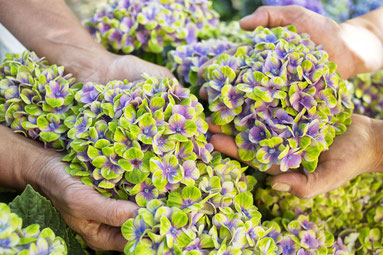 Hortensias Magical Four Seasons sur le blog Archi'Tendances d'Amsterdam Communication