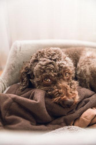 """Der Name """"Lagotto"""" besteht aus dem italienischen Wort """"lago"""" was soviel wie  See oder Gewässer bedeutet und in diesem Fall Hund des Wassers. Erwähnt wurde der Lagotto Romagnolo bereits im 17. Jahrhundert als """"Lagunenjäger"""" – """"Vallaroli"""". Sein enges gekräu"""