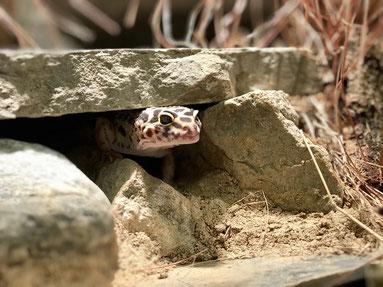 Leopardgecko schaut aus Höhle Bodengrund Sandlehm-Gemisch Terrarium Einrichtung