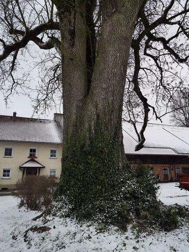 Esche am Hof Hub bei Bietenweiler