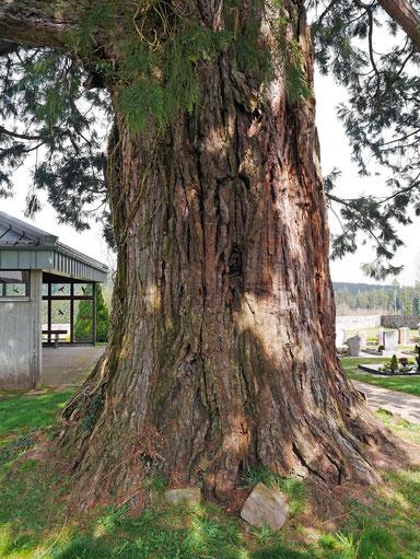 Riesenmammutbaum auf dem Friedhof in Simmersfeld