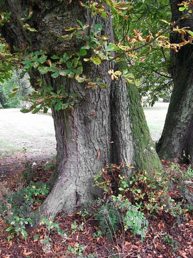 Kastanie im Schlosspark Friesenhausen in Friesenhausen