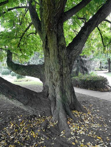 Flügelnuss im Nordpark am Dahliengarten in Bielefeld