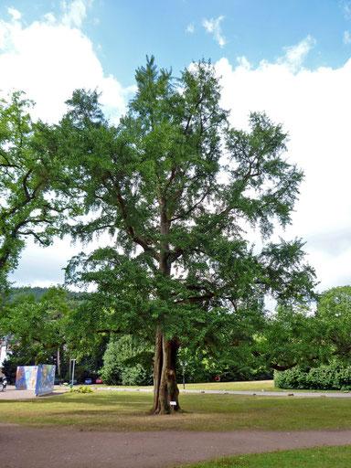 Ginkgo im Abteipark in Mettlach