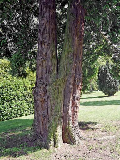 Riesenlebensbaum beim Schloss Drachenburg bei Königswinter