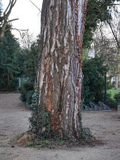 Schwarzkiefer im Lindenhofpark bei Schachen
