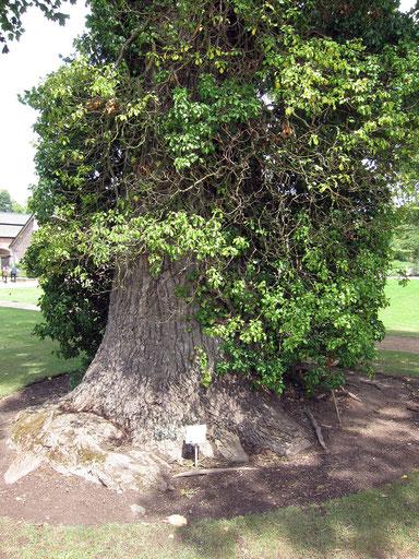 Tulpenbaum im Park des Schlosses Dyck bei Aldenhoven