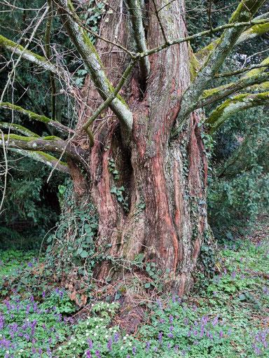 Urweltmammutbaum im Lindenhofpark bei Schachen