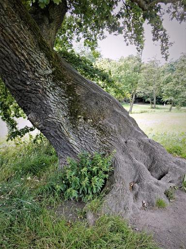 Eiche im Jenischpark in Hamburg