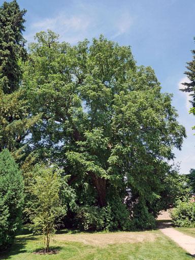 Flügelnuss im Schlosspark in Bad Homburg