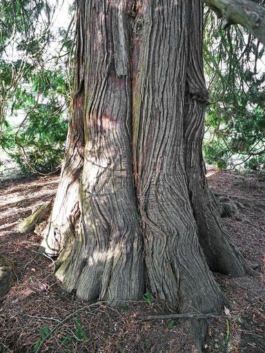 Riesenlebensbaum im Lindenhofpark bei Schachen