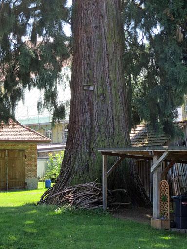 Riesenmammutbaum beim Schweizerhaus in Tettnang