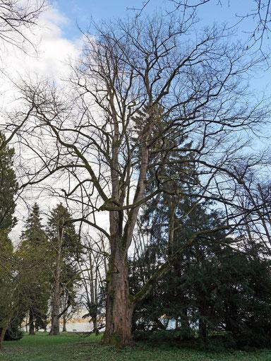 Bergahorn im Lindenhofpark in Schachen