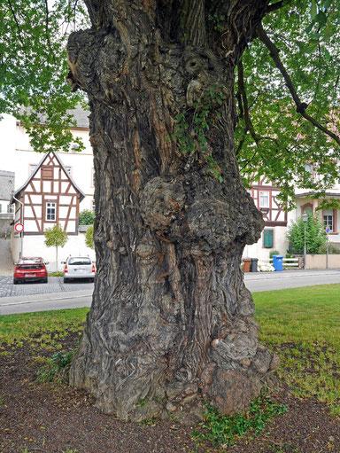 Feldulme in Oestrich