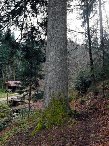 Große Kostgrundtanne bei Elzach
